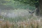 Cerf caché dans les hautes herbes