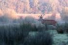 Cerf en lisière de forêt à l'époque du brame