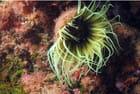 cérianthe de méditerranée