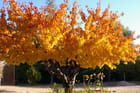 Cerisier d'or