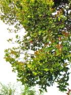 Cerisier du Brésil en fleurs