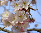 Cerisier du Japon 14-04-2013