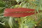 chambeyronia macrocarpa