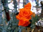 Champignon ( dacrymyces palmé )