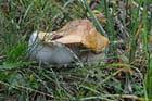 Champignon en décomposition
