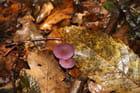 Champignon mauve