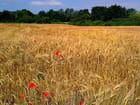 Champs de blé  et coquelicots (3)