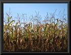 Champs de maïs 2