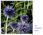 Chardons bleus au pied du Vercors