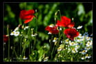Chasse aux coquelicots (dh)