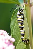chenille de papillon monarque.