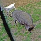 Chèvre et porc