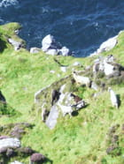 Chevres dans les falaises irlandaises