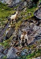Chèvres de montagne .