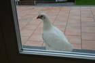 Chien de garde...  non poulet de garde