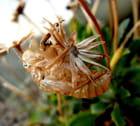 Chrysalide et fleur