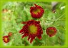Chrysanthème en bouton dans une potée sur la terrasse