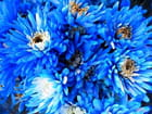Chrysanthèmes bleus