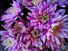 Chrysanthèmes parmes
