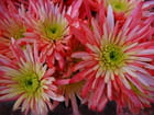 Chrysanthèmes rose