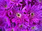 Chrysanthèmes violets