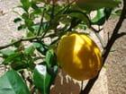 Citron à Banyuls