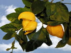Citron insolite 3