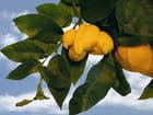 Citron insolite 4