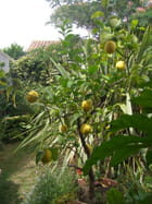 Citrons Chaumois
