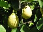 citrons de la drÖme