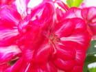 Coeur de Géranium lierre