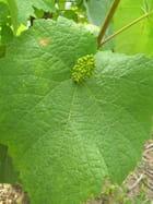 Coeur de vigne
