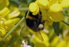Collecte de pollen