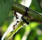 Conférence de fourmis