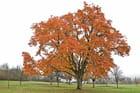 Cormier en verger avec sa parure d'automne.
