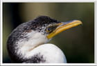 Cormoran d'Australie