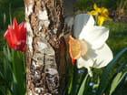 Coucou la tulipe !