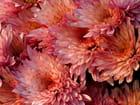 Couleur du chrysanthème