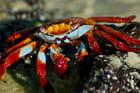 Crabe multicolore