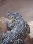 Crocodile de Cuba