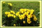 Crocus d'automne d'un jaune éclatant