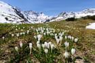 Crocus de montagne au printemps
