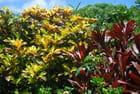 Crotons et cordylines