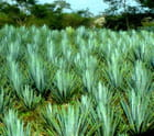 Culture des agaves