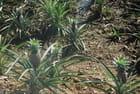 culture des ananas sur l'île de La Dominique