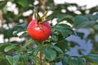 Cynorrhodon de rosier gallique