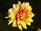 Dahlia bicolore