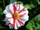 Dahlia rouge et blanc