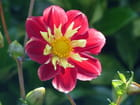 Dahlia rouge et or