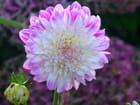 Dalhia rose et blanc